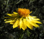 Garten Strohblume Bluete gelb Xerochrysum bracteatum 01