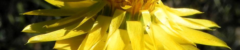 garten-strohblume-bluete-gelb-xerochrysum-bracteatum
