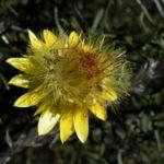 Garten Strohblume Bluete gelb Xerochrysum bracteatum 03