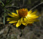 Garten Strohblume Bluete gelb Xerochrysum bracteatum 04
