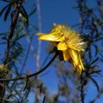 Garten Strohblume Bluete gelb Xerochrysum bracteatum 05