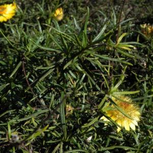 Bild: Garten Strohblume Bluete gelb Xerochrysum bracteatum