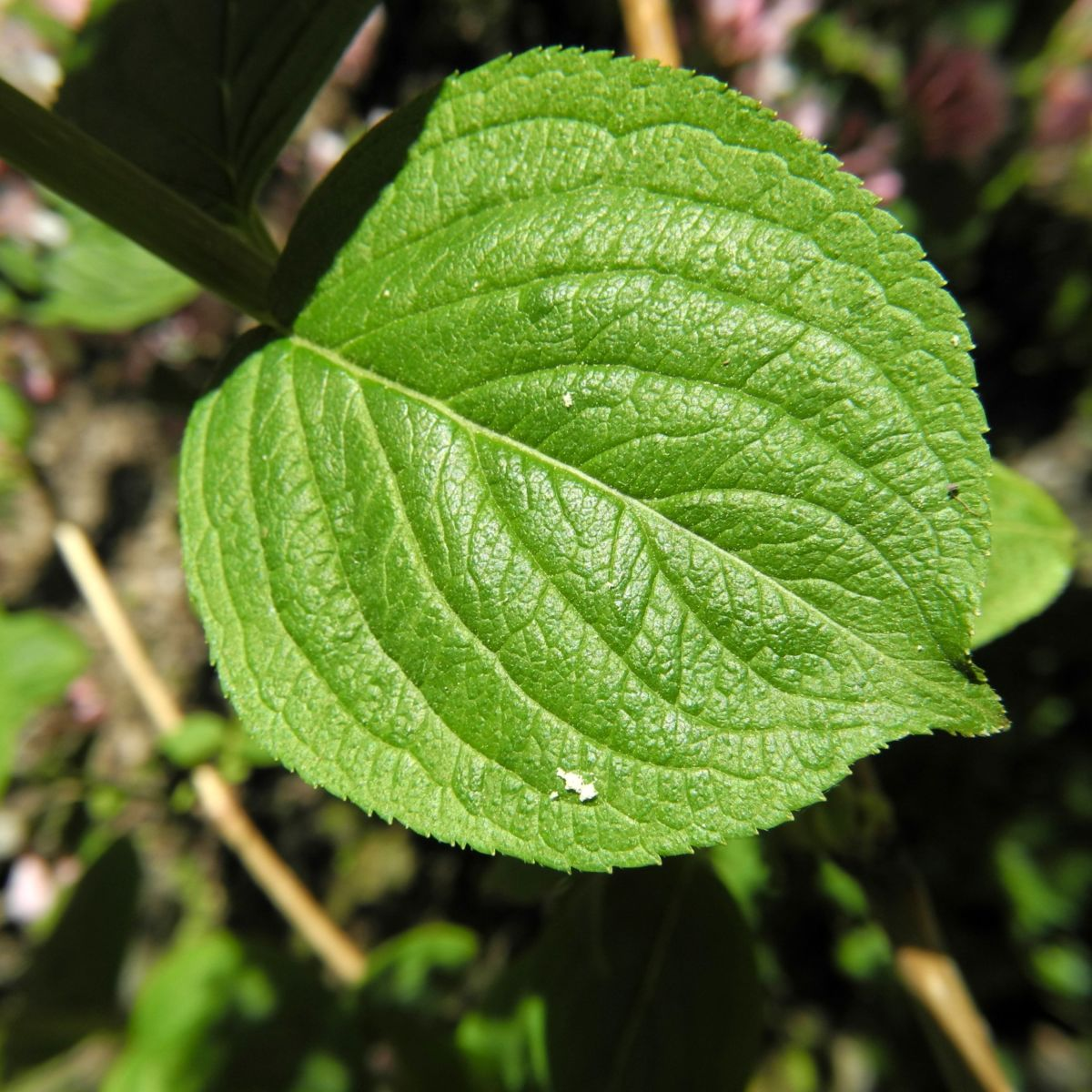 Garten Weigelie Blatt gruen Weigelia hortensis