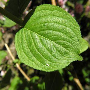 Garten Weigelie Blatt gruen Weigelia hortensis 02