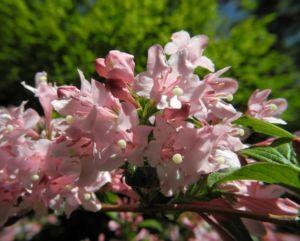 Garten Weigelie Bluete pink Weigelia hortensis 02