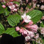 Garten Weigelie Bluete pink Weigelia hortensis 03