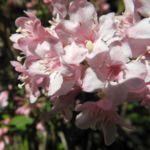 Garten Weigelie Bluete pink Weigelia hortensis 04