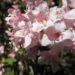 Zurück zum kompletten Bilderset Garten-Weigelie Blüte pink Weigelia hortensis
