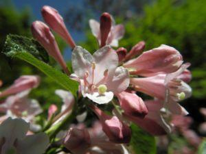 Garten Weigelie Bluete pink Weigelia hortensis 05