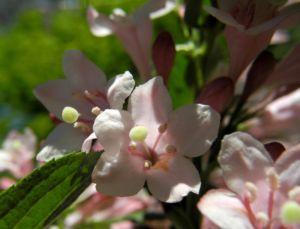 Garten Weigelie Bluete pink Weigelia hortensis 06