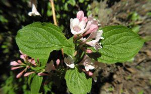 Garten Weigelie Bluete pink Weigelia hortensis 07