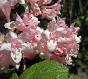 Garten Weigelie Bluete pink Weigelia hortensis 09