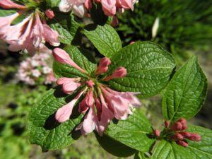 Garten Weigelie Bluete pink Weigelia hortensis 10