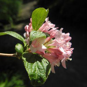 Garten Weigelie Bluete pink Weigelia hortensis 11