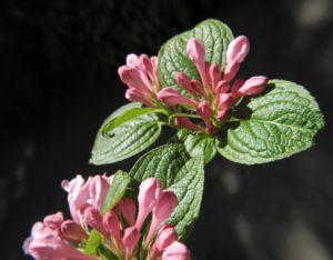 Garten Weigelie Bluete pink Weigelia hortensis 12