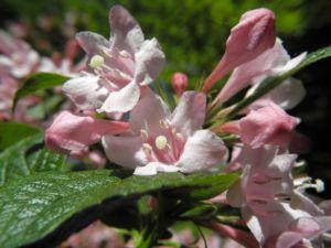 Garten Weigelie Bluete pink Weigelia hortensis 13