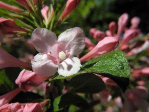 Garten Weigelie Bluete pink Weigelia hortensis 14