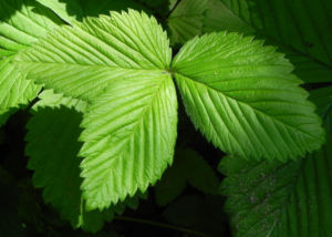 Gartenerdbeere Blatt gruen Fragaria ananassa 02