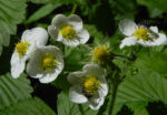 Bild: Garten-Erdbeere Blüte weiß Fragaria x ananassa