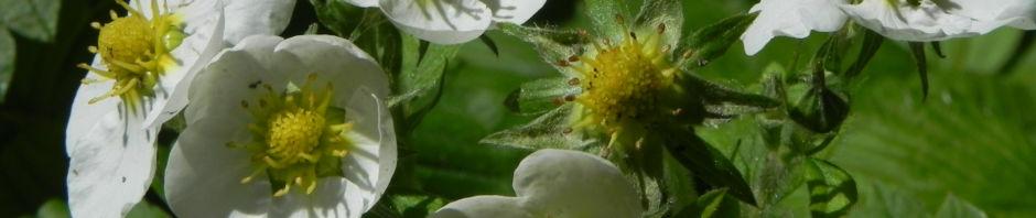 Anklicken um das ganze Bild zu sehen Garten-Erdbeere Blüte weiß Fragaria x ananassa