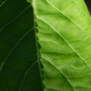 Gartenhortensie Blatt gruen Hydrangea macrophylla 03