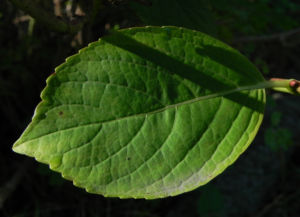 Gartenhortensie Blatt gruen Hydrangea macrophylla 04