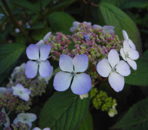 Gartenhortensie Bluete helllila Hydrangea macrophylla 02