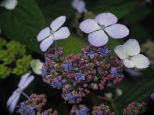 Gartenhortensie Bluete helllila Hydrangea macrophylla 05