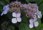 Gartenhortensie Bluete helllila Hydrangea macrophylla 07
