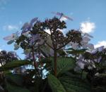 Gartenhortensie Bluete helllila Hydrangea macrophylla 08