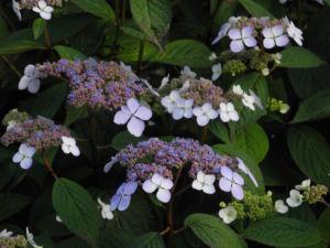 Gartenhortensie Bluete helllila Hydrangea macrophylla 10