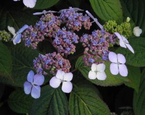 Gartenhortensie Bluete helllila Hydrangea macrophylla 11