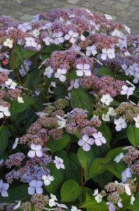 Gartenhortensie Bluete helllila Hydrangea macrophylla 12