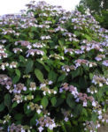 Bild: Gartenhortensie Blüte helllila Hydrangea macrophylla