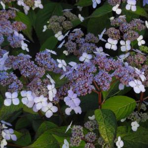 Gartenhortensie Bluete helllila Hydrangea macrophylla 14