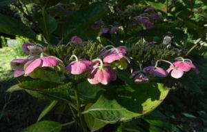 Gartenhortensie Bluete pink Hydrangea macrophylla 01