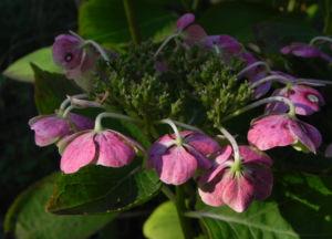 Gartenhortensie Bluete pink Hydrangea macrophylla 03