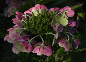 Gartenhortensie Bluete pink Hydrangea macrophylla 04