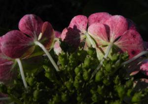 Gartenhortensie Bluete pink Hydrangea macrophylla 05