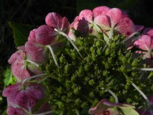 Gartenhortensie Bluete pink Hydrangea macrophylla 06