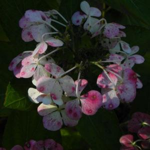 Gartenhortensie Bluete pink Hydrangea macrophylla 10