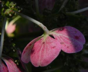 Gartenhortensie Bluete pink Hydrangea macrophylla 11