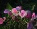Zurück zum kompletten Bilderset Gartenhortensie Blüte pink Blatt grün Hydrangea macrophylla