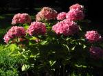 Gartenhortensie Bluete rosa Hydrangea macrophylla 01