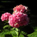 Gartenhortensie Bluete rosa Hydrangea macrophylla 02