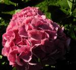 Gartenhortensie Bluete rosa Hydrangea macrophylla 03