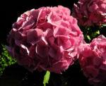 Gartenhortensie Bluete rosa Hydrangea macrophylla 06