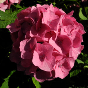 Bild: Gartenhortensie Bluete rosa Hydrangea macrophylla
