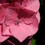 Bild: Gartenhortensie Blüte rosa Hydrangea macrophylla
