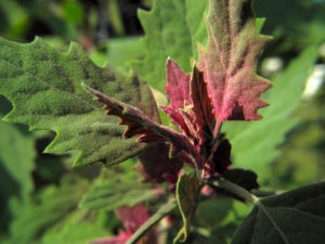 Gartenmelde Blatt gruen rot Atriplex hortensis 09